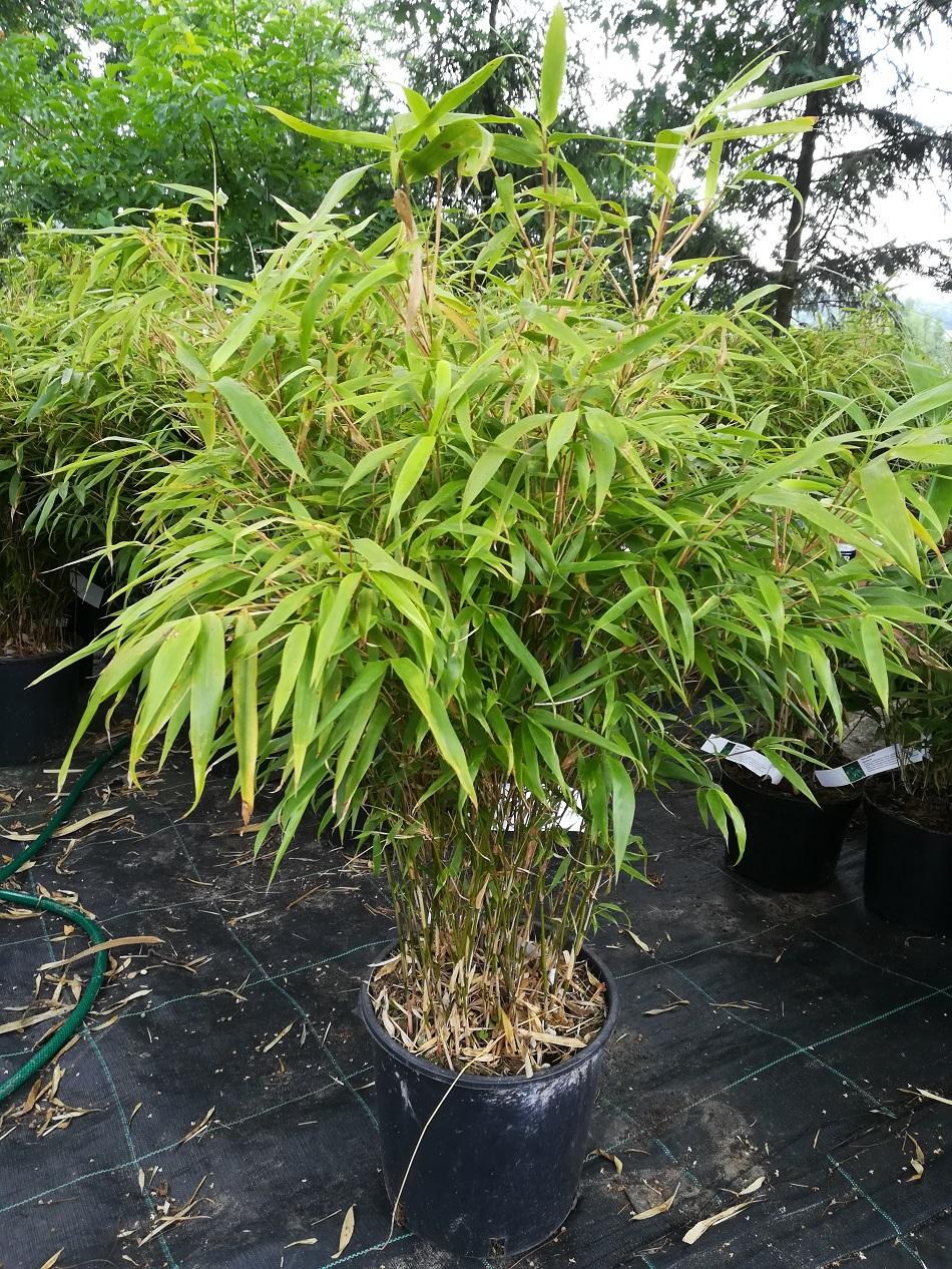 Bambus Fargesia Rufa Fargezja Rozlozysta 10l 60 100cm