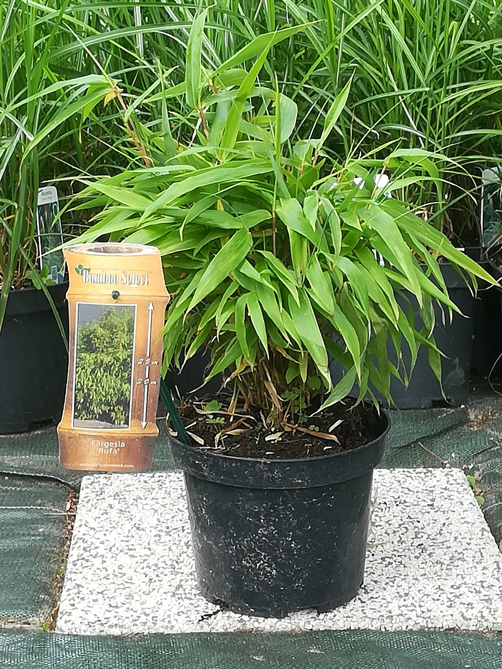 Bambus Fargesia Rufa Fargezja Rozlozysta 2l 30 40cm